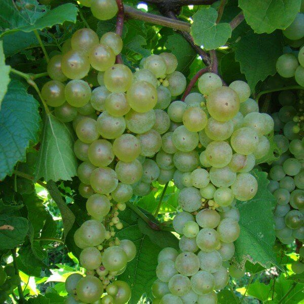 Aurore - Grafted Grapevines