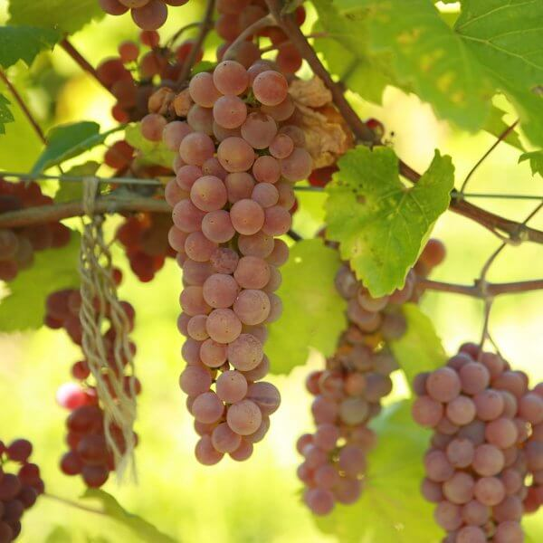 Buy Alpenglow Grapevines