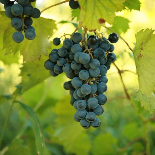 Buy Chambourcin - Grafted Grapevines