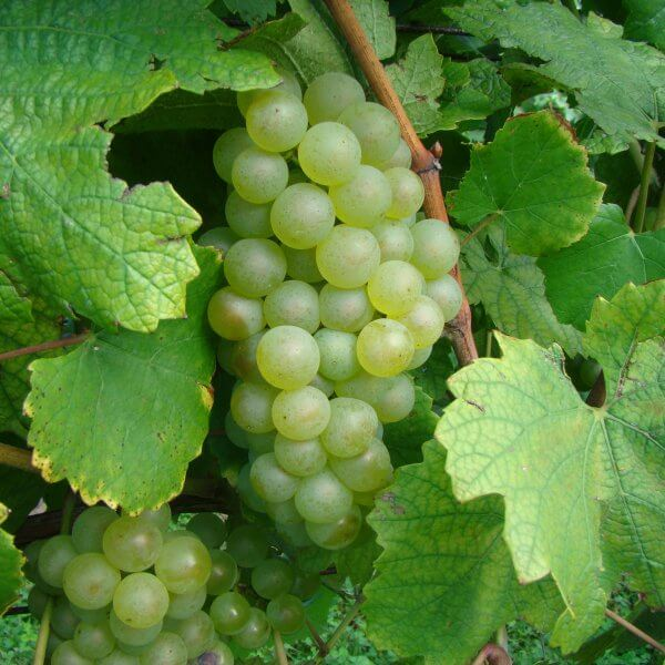 Buy Chardonnay Grapevines