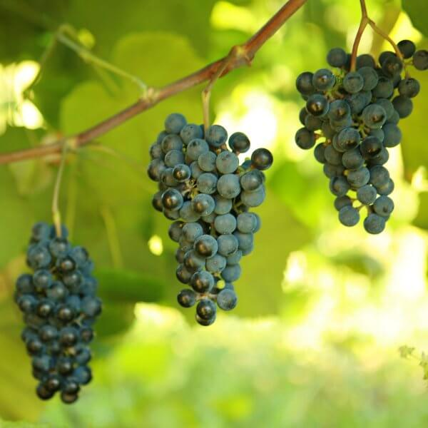 Buy Norton (Cynthiana) - Grafted Grapevines