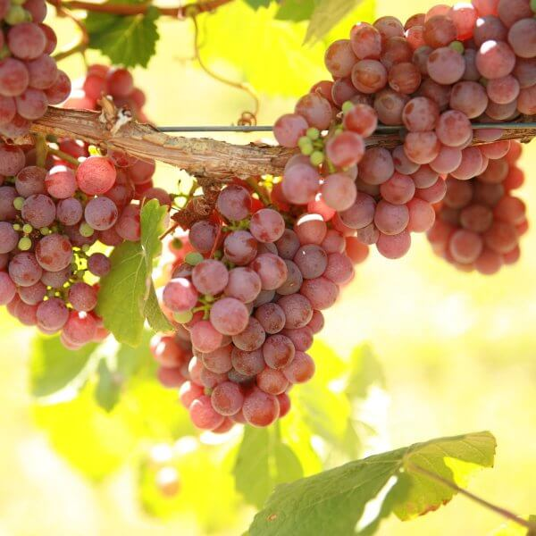 Gewürztraminer - Grafted Grapevines