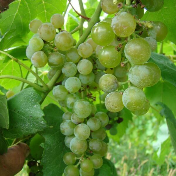 Buy Louise Swenson Grapevines