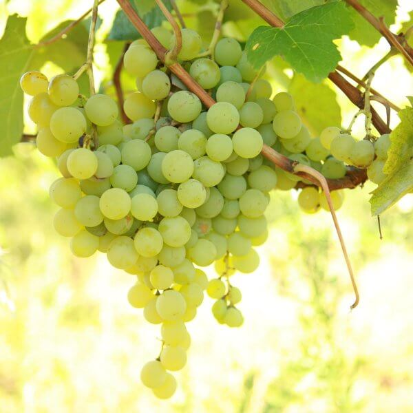 Buy Marquis Grapevines