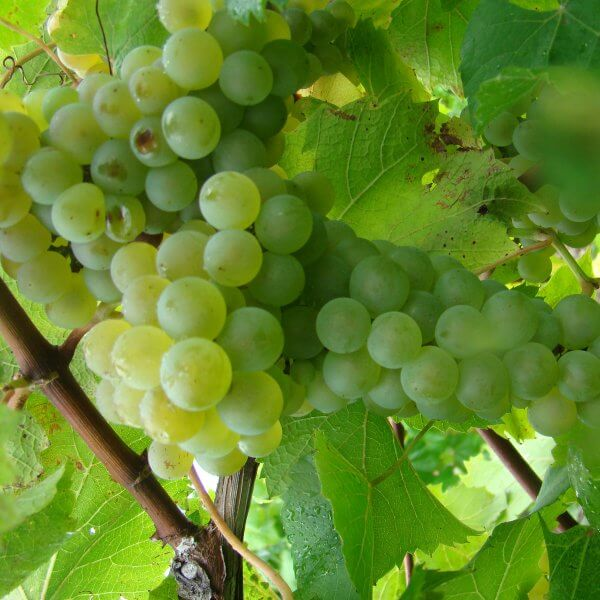 Buy Melody Grapevines