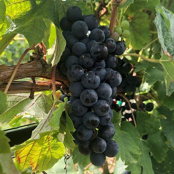 Merlot - Grafted Grapevines