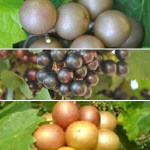 Southern Muscadine Collection - Grapevine Collections