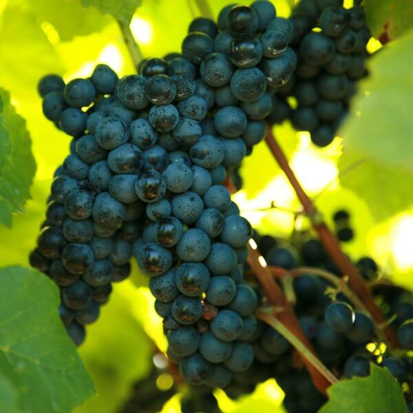 Buy Noiret - Grafted Grapevines