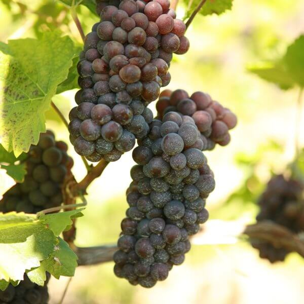 Buy Pinot Gris Grapevines