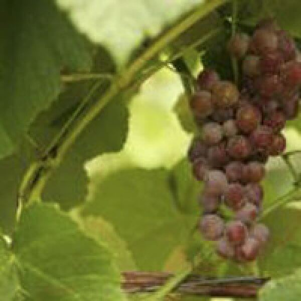 Buy Reliance Grapevines