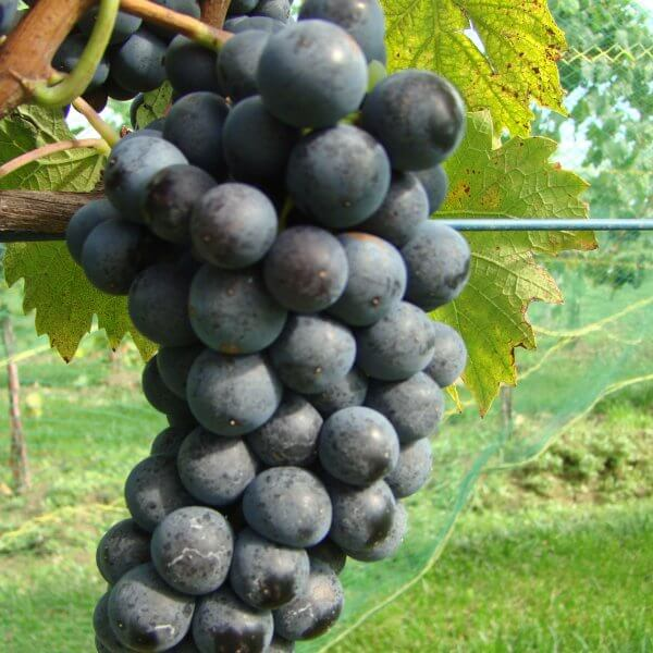 Buy Sangiovese Grapevines