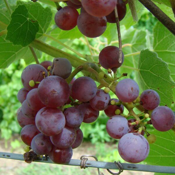 Buy Somerset Seedless Grapevines