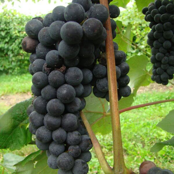 Buy Sovereign Coronation Grapevines