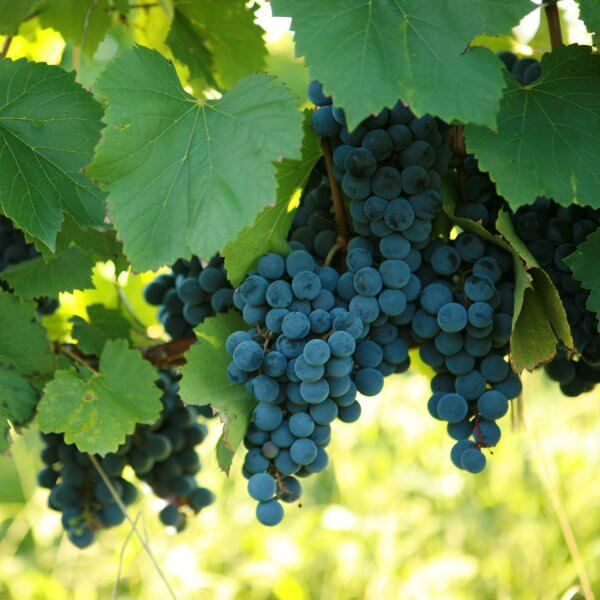Buy St. Vincent Grapevines