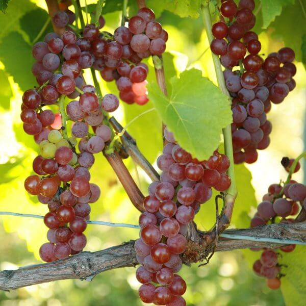 Buy Suffolk Red Grapevines