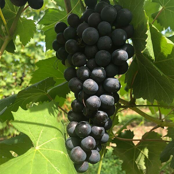 Teroldego – Grafted Grapevines