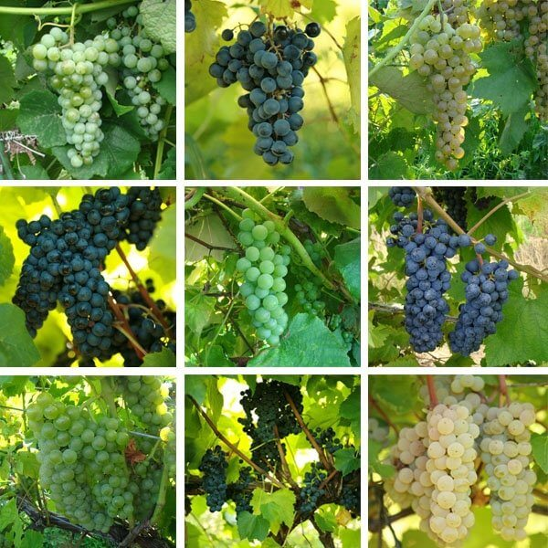Backyard Wine Growers Collection - Grapevine Collections