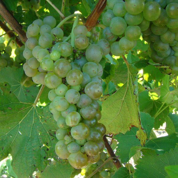 Buy Vignoles Grapevines
