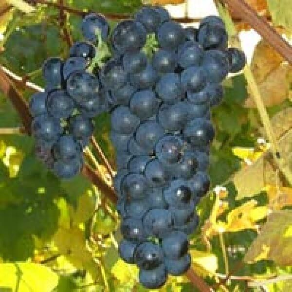 Buy Vincent Grapevines