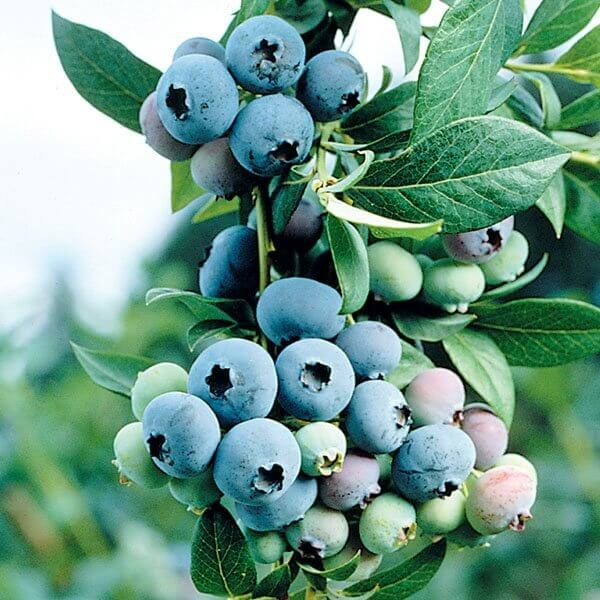 Bluecrop Blueberries