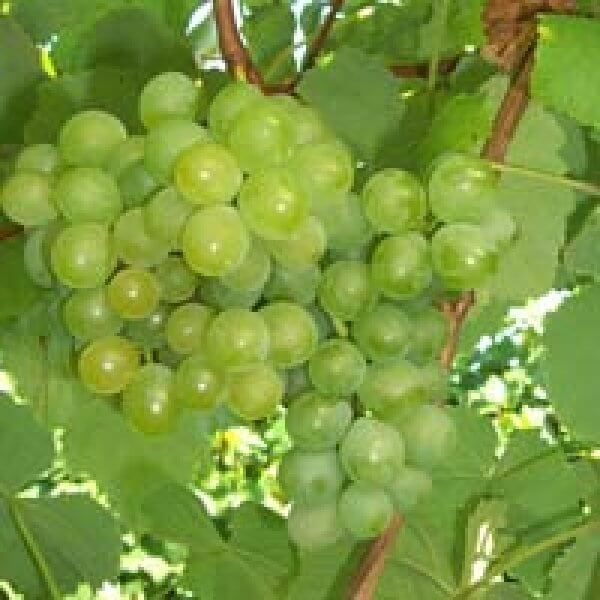 Golden Muscat Grapevines