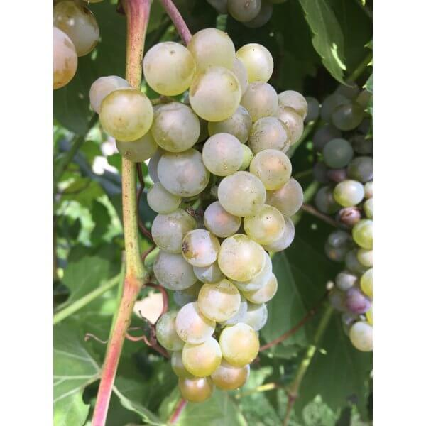 Itasca Grapevines