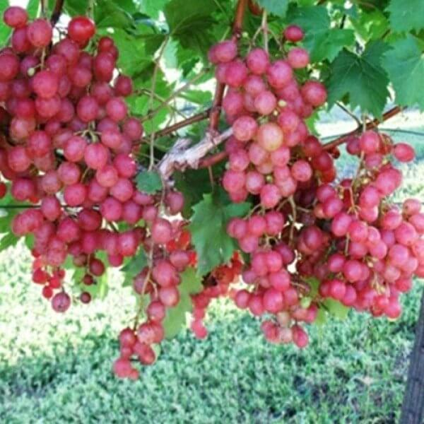 Buy Grafted - Victoria Red Grape Vines For Sale