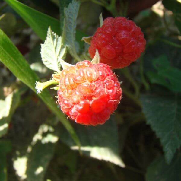 Encore Red Raspberries