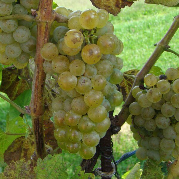 Buy Albarino Grapevines
