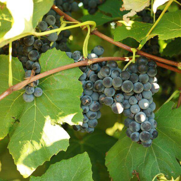 Buy Alwood Grapevines