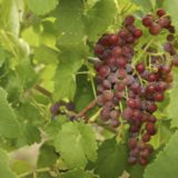 Buy Einset  Seedless Grapevines