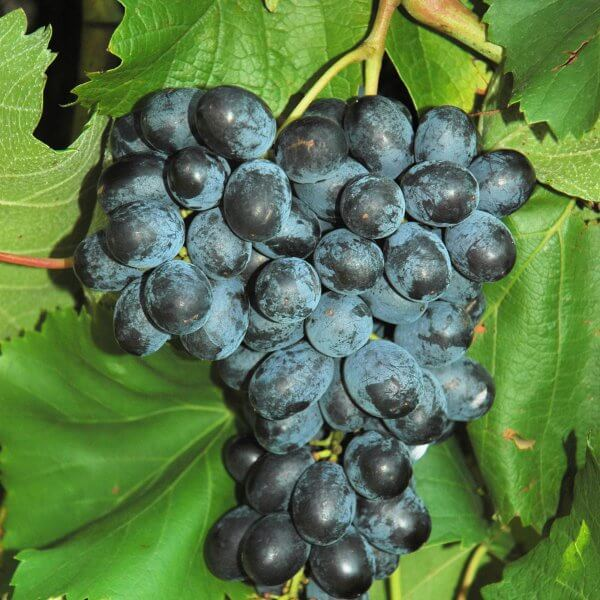 Buy Faith Grapevines