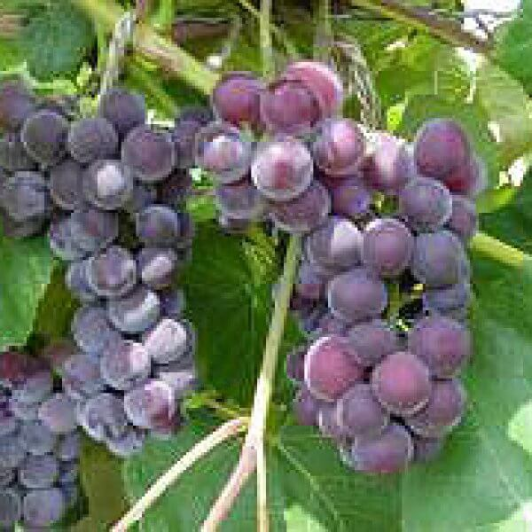 Buy Fredonia Grapevines
