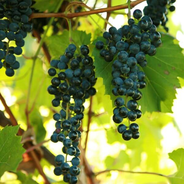 Buy Frontenac Grapevines