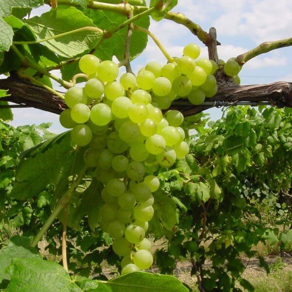 Buy Himrod Grapevines