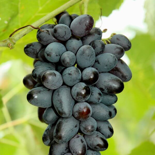 Buy Joy Grapevines
