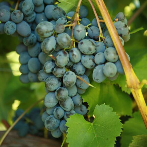 Buy Jupiter Grapevines