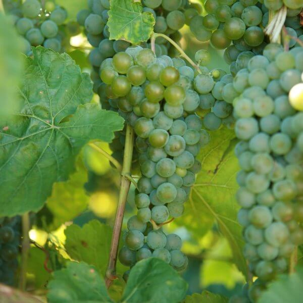 Buy La Crosse Grapevines