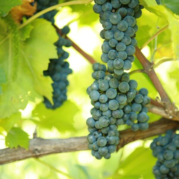 Buy Leon Millot Grapevines