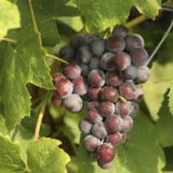 Buy New York Muscat Grapevines