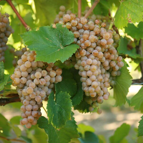 Buy Traminette - Grafted Grapevines