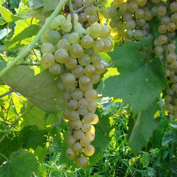 Buy Vidal Blanc - Grafted Grapevines