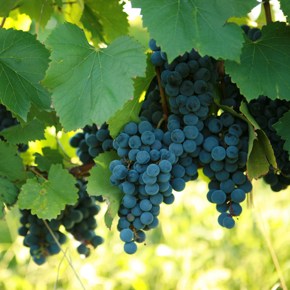 Buy St Vincent Grape Vines For Sale