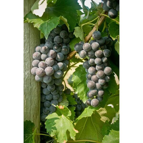 Everest Seedless (NY98.0228.02) - Grapevines