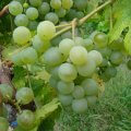 Valvin Muscat - Grafted