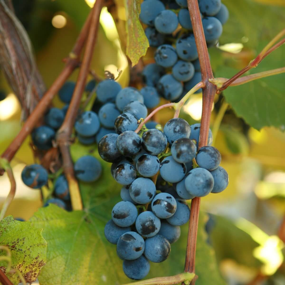 Buy Concord Grape Vines For Sale Double A Vineyards