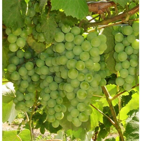 Buy Interlaken Grapevines