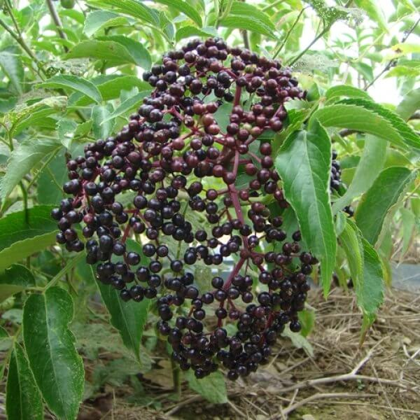 York Elderberries