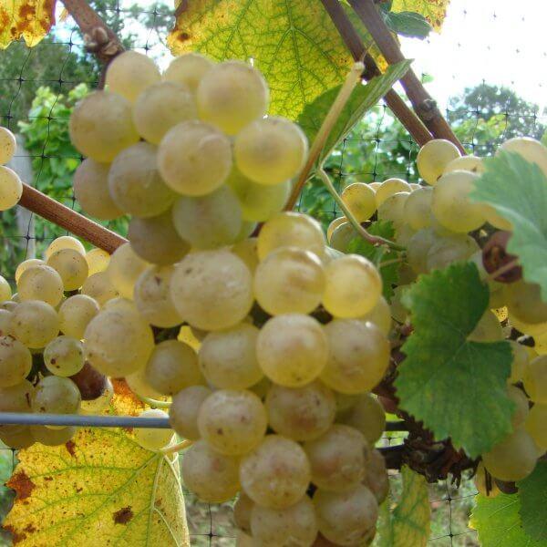 Buy Auxerrois Grapevines