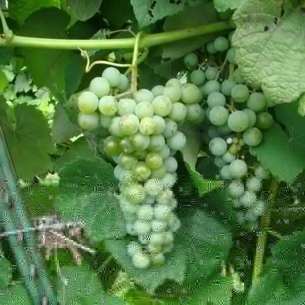 Buy Cayuga White Grapevines